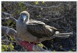Baby Red-footed Booby
