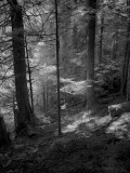 In the Grove of the Patriarchs, Mount Rainier National Park. in Infrared