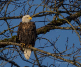 American Bald Eagles in the Pacific Northwest