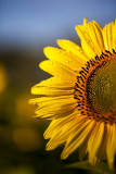 Sunflowers after October Rain