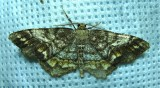 Hypagyrtis unipunctata – 6654 - One-spotted Variant Moth