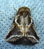 Habrosyne scripta - 6235 - Lettered Habrosyne Moth