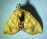 Eulithis gracilineata - 7197 - Greater Grapevine Looper