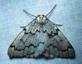 Nepytia canosaria – 6906 – False Hemlock Looper Moth
