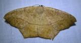 Prochoerodes lineola - 6982 - Large Maple Spanworm