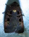 Pseudohermonassa bicarnea - 10950 - Pink-spotted Dart Moth