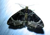 Ecliptopera silaceata - 7213 - Small Phoenix Moth