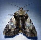 Catocala crataegi - 8858 - Hawthorn Underwing