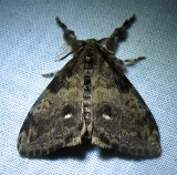 Dasychira plagiata - 8304 - Northern Pine Tussock (?)