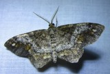 Hypagyrtis unipunctata - 6654 - One-spotted Variant