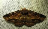 Zale helata - 8704 - Brown-spotted Zale