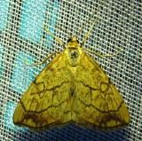 Evergestis pallidata - 4897 - Purple-backed Cabbageworm