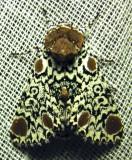 Harrisimemna trisignata - 9286 - Harris's Three-spot