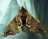 Paonias myops - 7825 - Small-eyed Sphinx Moth
