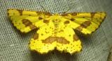 Xanthotype species