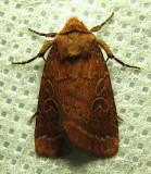 Orthodes cynica - 10587 - Cynical Quaker - worn specimen