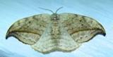 Drepana arcuata - 6251 - Arched Hooktip Moth