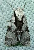 Acronicta funeralis - 9221 - Funerary Dagger