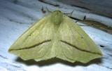 Tetracis crocallata - 6963 - Yellow Slant-line