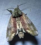Oligocentria semirufescens - 8012 - Red-washed Prominent