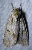 Acronicta morula - 9236 - Ochre Dagger