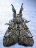 Dasychira basiflava - 8296 - Yellow-based Tussock Moth