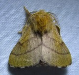 Malacosoma disstria - 7698 - Forest Tent Caterpillar