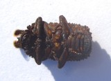 Forked Fungus Beetle - Bolitotherus cornutu - view 3