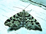 Macaria oweni - 6351