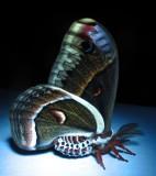 Hyalophora cecropia -7767 - Cecropia Moth