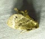 Packardia elegans - 4661 - legant Tailed Slug Moth
