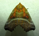 Scoliopteryx libatrix - 8555