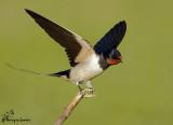 Rondine , Swallow