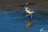 Giovane avocetta , The new born