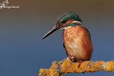 Martin pescatore femmina , Kingfisher female