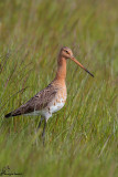 Pittima reale , Black-tailed Godwit