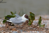 Gabbiano comune , Black-headed gull