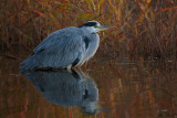 Airone cinerino ,  Grey heron