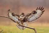 Poiana in atterraggio , Buzzard landing