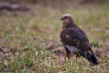 Falco di palude , Marsh harrier