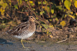 Beccaccino , Common snipe