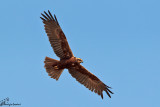 Falco di palude , Western marsh harrier