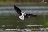 Cavaliere d'Italia , Black-winged stilt