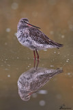 Totano moro , Spotted Redshank