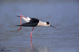Cavaliere d'Italia ,Black-winged stilt