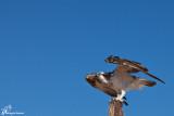 Falco pescatore , Osprey