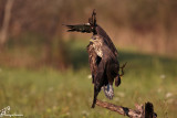 Scontro tra poiane , Buzzard crash