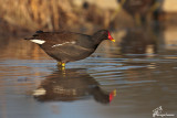 Gallinella d'acqua , Common moorhen