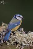 Cinciarella , Eurasian blue tit