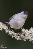 Capinera , Eurasian blackcap